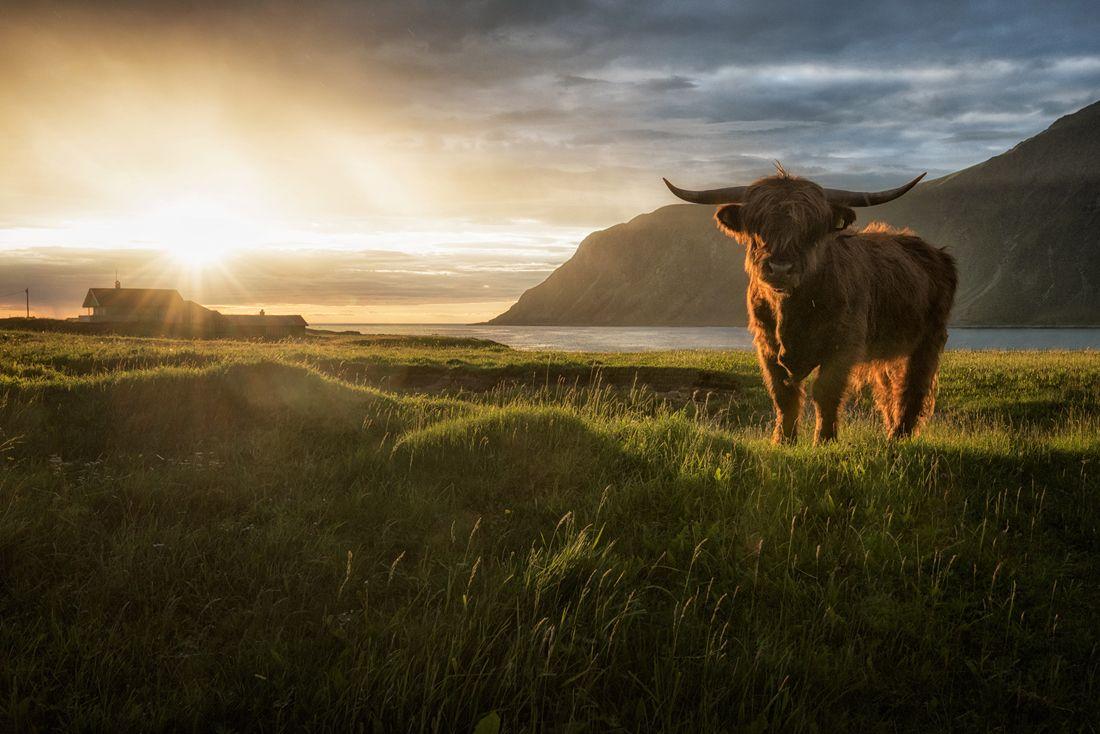 Sunset Bull